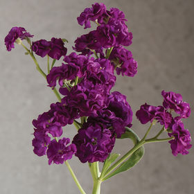 Stock Seed - Quartet Purple