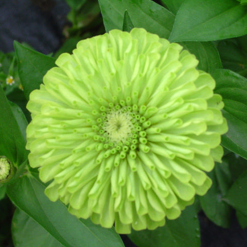 Zinnia - Queen Lime