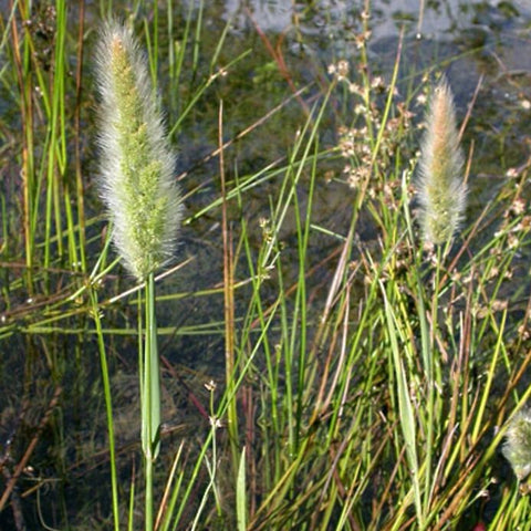 Decorative Grass - Rabbit's Foot Grass
