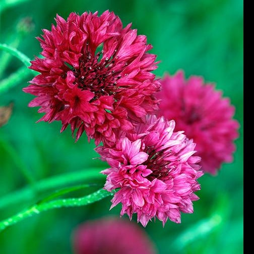 Bachelor's  Button Seed - Centaurea Boy Red