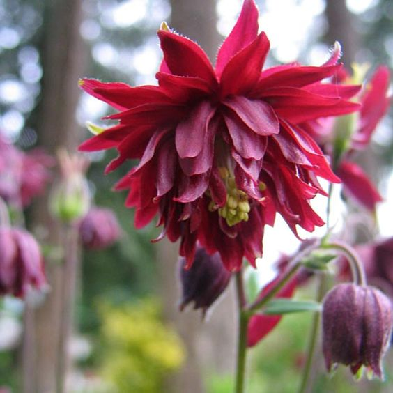 Columbine Seed - Ruby Port