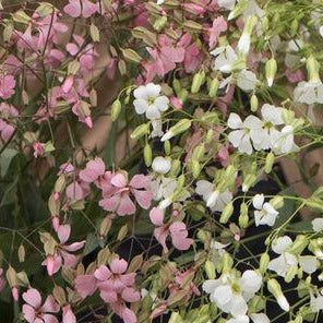 Saponaria Seed - Beauty Mix