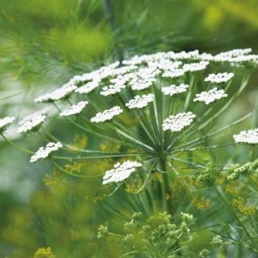 Ammi Seed - Select White