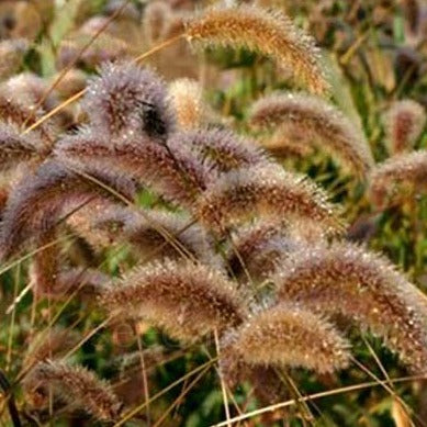 Decorative Millet & Wheat - Caramel Foxtail