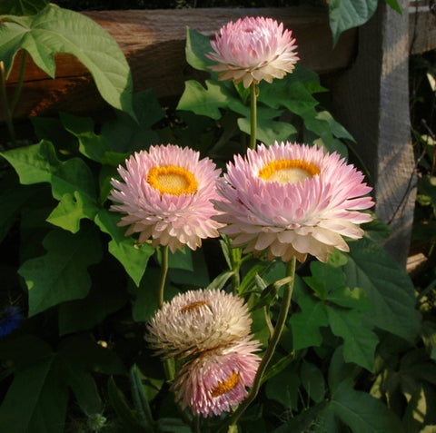 Strawflower - Silvery Rose