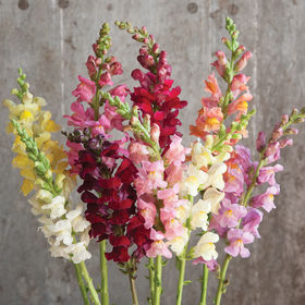 Snapdragon Seed - Rocket Mix