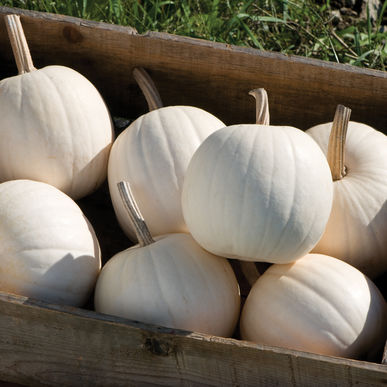 Decorative Pumpkin & Squash - Snowball