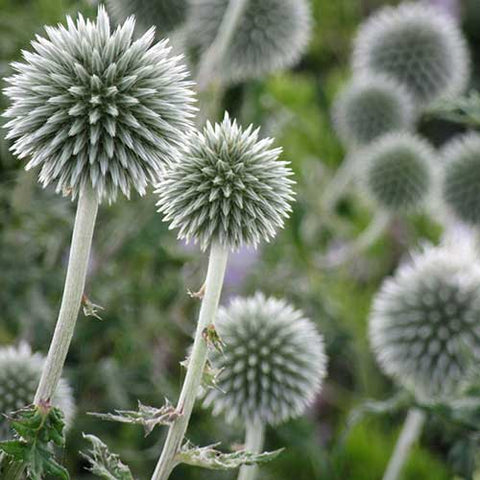 Globe Thistle - Star Frost