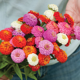 Zinnia Seed - Sunbow Mix