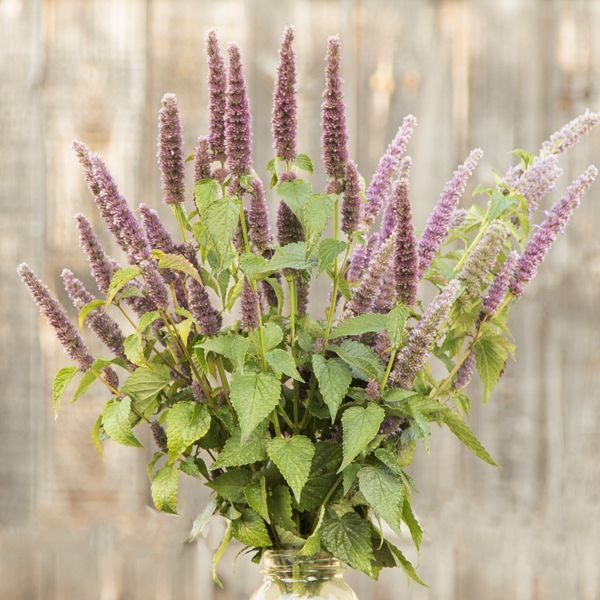 Agastache Seed - Superior Licorice Mint
