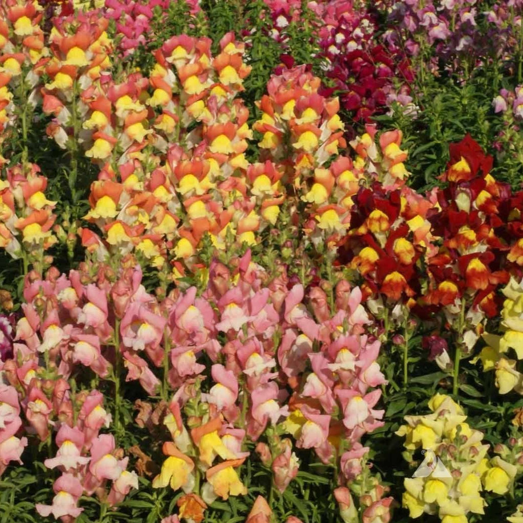 Snapdragon Seed - Tetra Mix