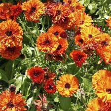 Calendula - Touch of Red Mix