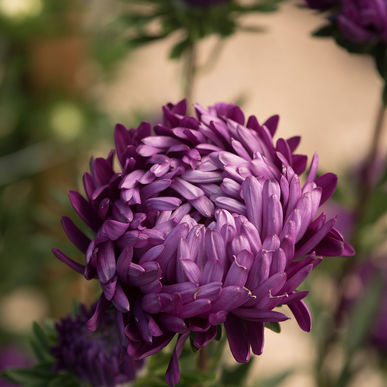 China Aster - Towers Violet