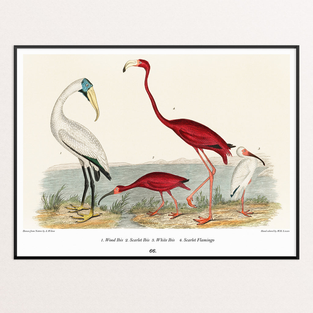 IBIS AND FLAMINGO POSTER PRINT