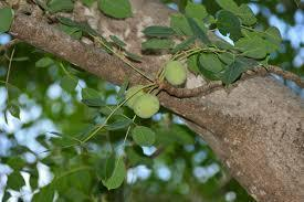 12 Marula Oil Benefits- Anti-Aging, Skin Protection, Stretch Marks,Hormones...