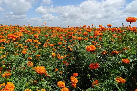 marigold extract for skincare