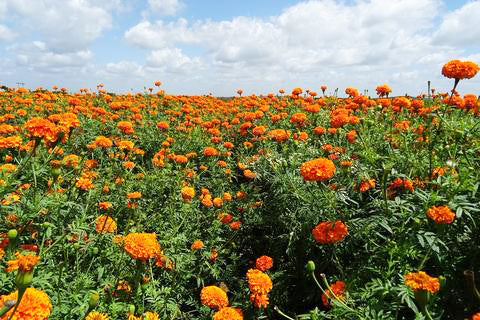 Field of marigold flowers - marigold extract for skincare