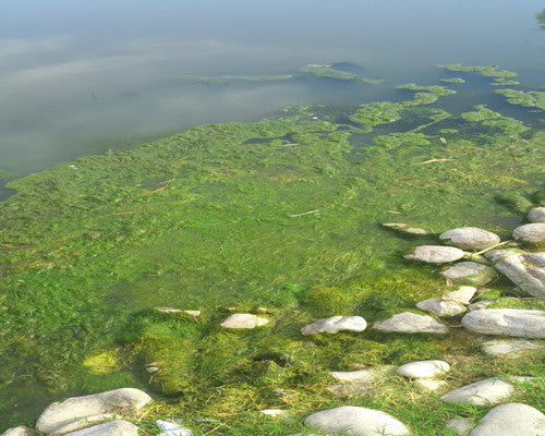 Annually cleaned ponds grow excessive algae