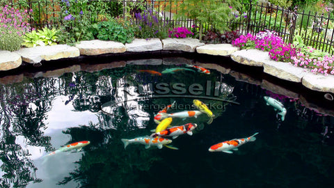 The Bubble-less Koi Pond is a Russell Watergardens & Koi design invention.