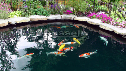 The Bubble-less Koi Pond™ is a design concept created by Russell Watergardens & Koi that eliminates air bubbles in the pond that obscure viewing the koi.