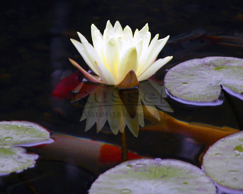 A water garden pond built with a Hydro Vortex™ pond kit is easy to clean.