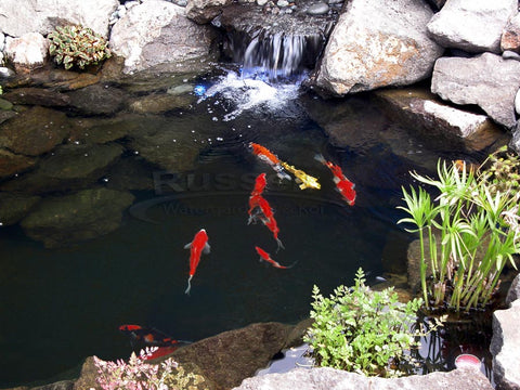 About us.  Russell Watergardens & Koi is your source water algaecides and pond cleaners.