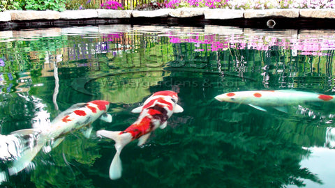 The Bubble-less Koi Pond™ provides beautiful sky and landscape reflection for the koi to swim through.