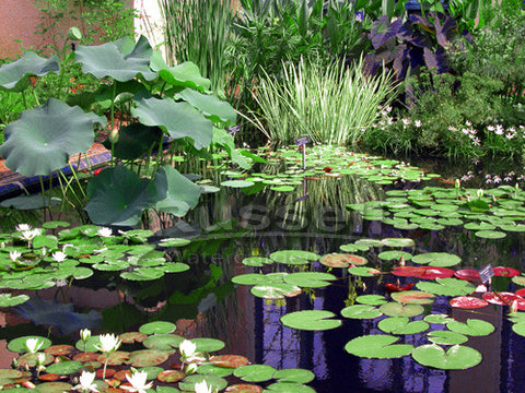 Types Of Water Plants For Your Pond Marginal Floating Submerged Russell Watergardens Koi