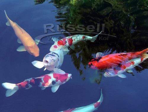 How to Build a Bubble-less™ Koi Pond | Russell Watergardens