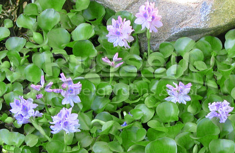 Water Hyacinth floating water plant and flowers