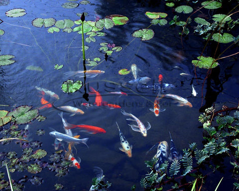 Koi can live in a water garden pond but they are more subject to predators.