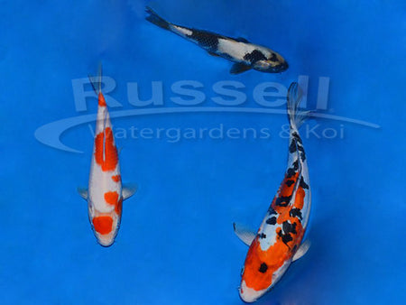 Elite Koi Package #2 Gosanke and Utsuri