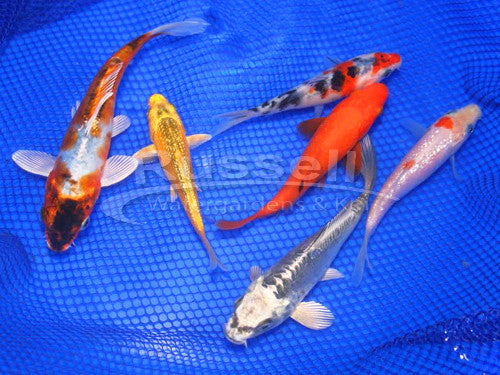 Koi Package A: Three 3-4″ Choice Standard Fin Koi  and Three 4-6″ Choice Standard Fin Koi