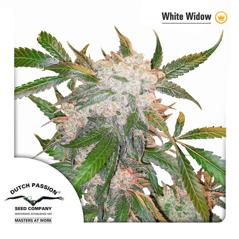 White Widow Regular