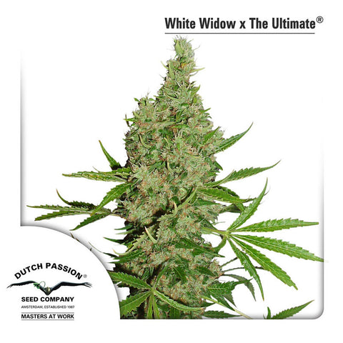 White Widow x The Ultimate Regular