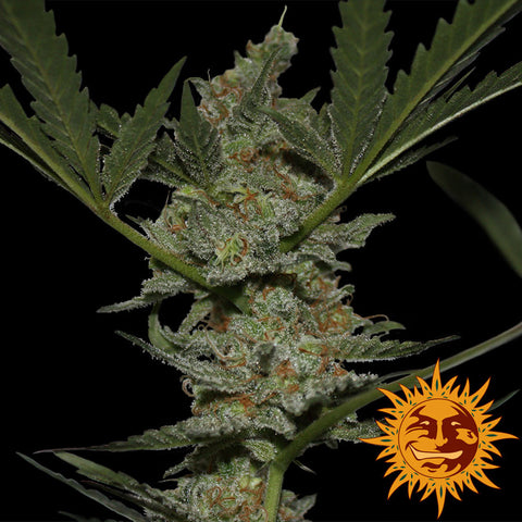 Barneys Farm Acapulco Gold
