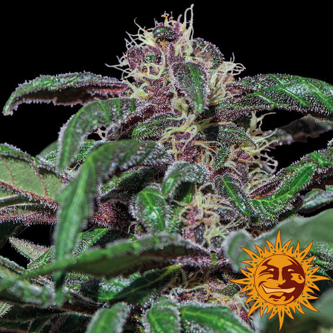 Barneys Farm Ayahuasca Purple