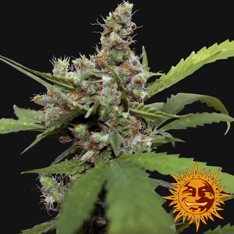 Barneys Farm CBD Blue Shark