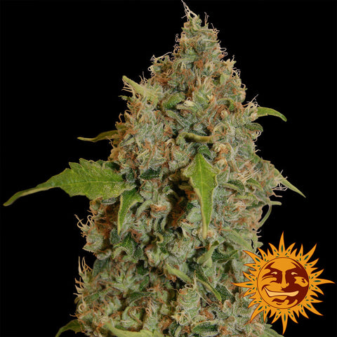 Barneys Farm Chronic Thunder