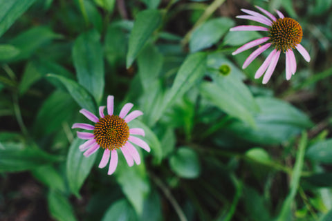 Echinacea by Kindred Photographer, Honey & Sage Co.