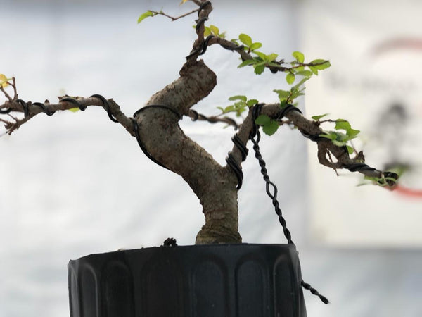Chinese Elm - Shohin (Auction 3) CLOSED