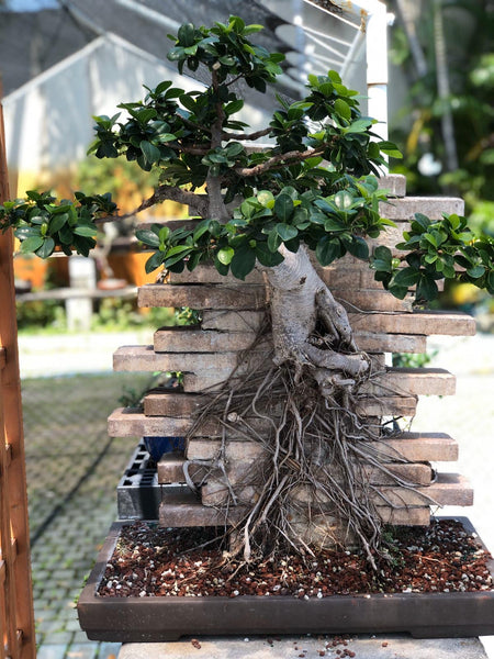 Root on Wall Ficus