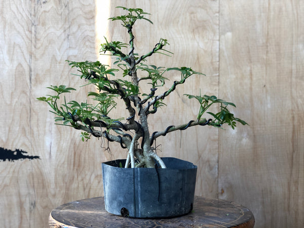 Schefflera -(Auction 5) CLOSED
