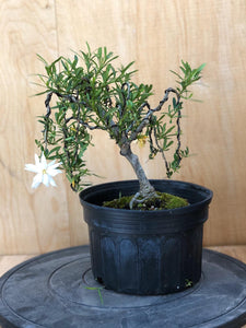 Dwarf Gardenia (Auction 8) - CLOSED
