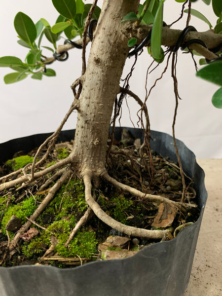 Green Mound Ficus (Auction 12)
