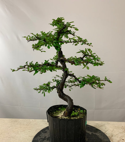 Chinese Elm (Auction 14)