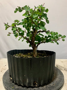Campeche Shohin (Auction 15)