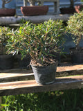 Willow Leaf Ficus Pre- Bonsai Tree