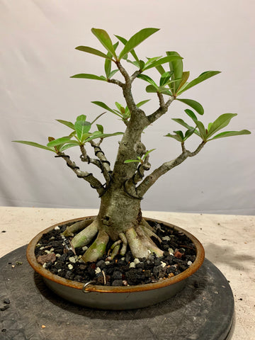 Desert Rose/ Adenium (Auction 17) - CLOSED