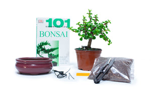 Jade Bonsai Starter Kit